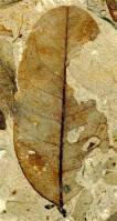 080211-leaf-fossil-vmed-3pwidec